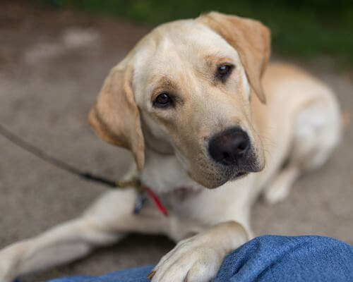 A white labrador looking at the camera.
