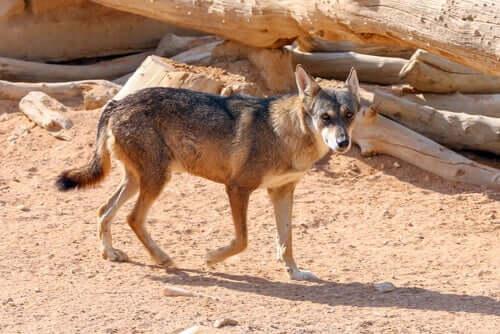 The Arabian Wolf: Characteristics, Behavior, and Habitat