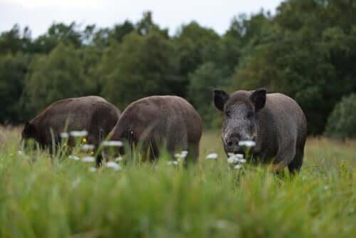 Three wild boar grazing in a field.