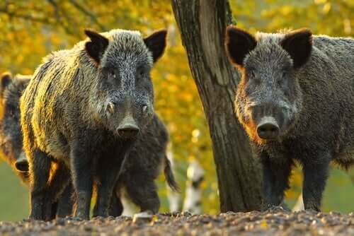 Two wild boar looking at a camera in the forest.