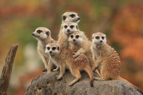 The Characteristics, Behavior, and Habitat of the Meerkat