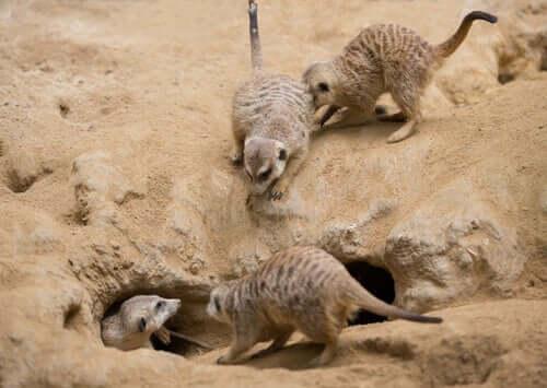 Meerkats live in colonies.