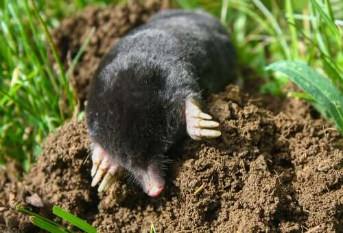 A mole digging in the ground.