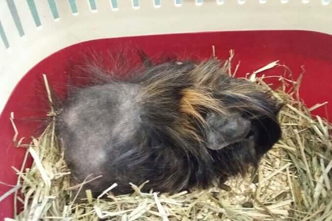 Alopecia in guinea pigs.