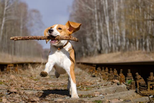 A beagle dog with a stick.