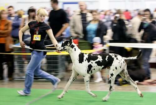 A large dog at a contest.