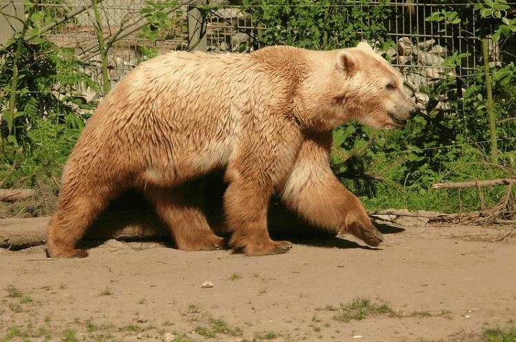 A brown grolar bear walking.