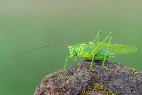 A bush cricket on a rock.