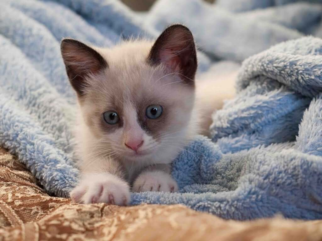 Feline Chlamydia: Causes, Symptoms and Treatment