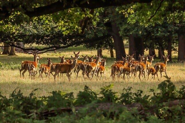 Deer in the wild.
