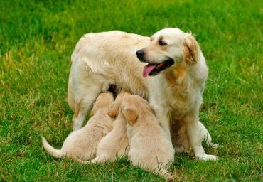 Vaginal Cytology in Dogs: Description and Procedure