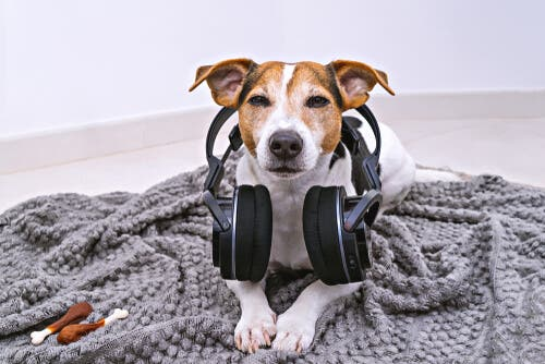 A dog with headphones.