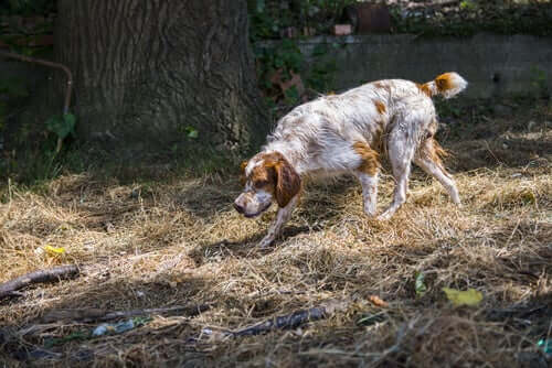 A dog tracking a scent.