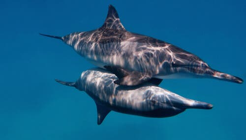 Two dolphins during sexual intercourse.