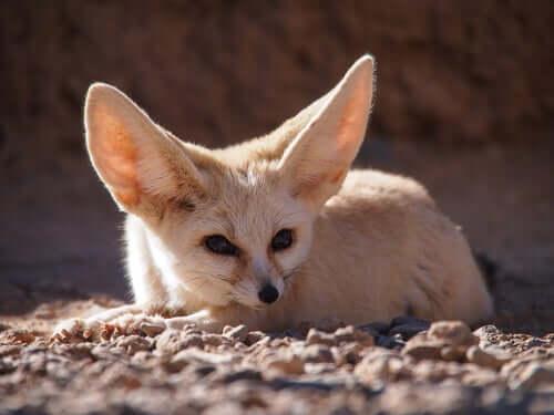 The behavior of the fennec fox.