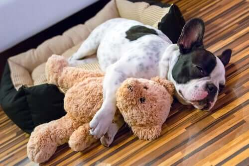 A dog with a soft toy.
