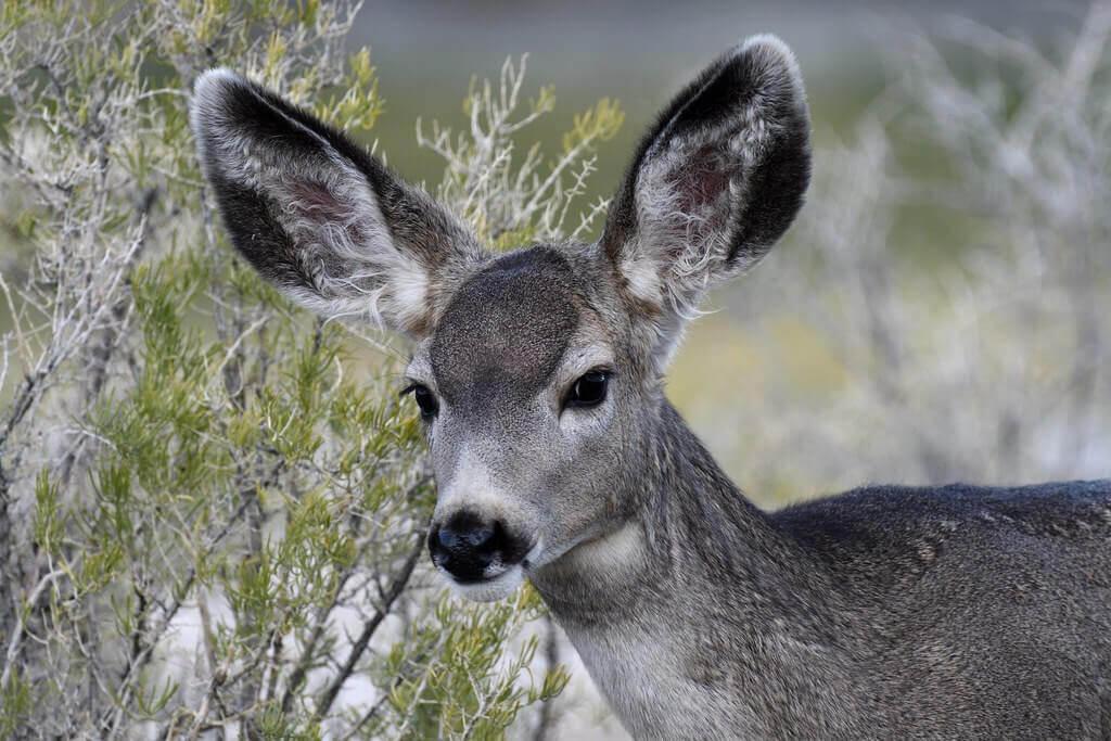 A mule deer.