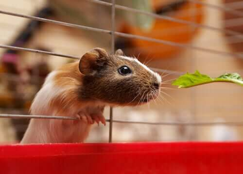 A guinea pig eating lettuce.