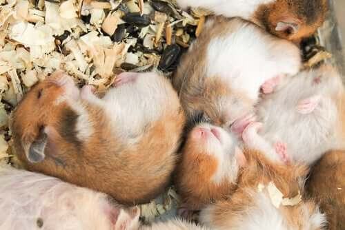 Hamsters sleeping in their cage.