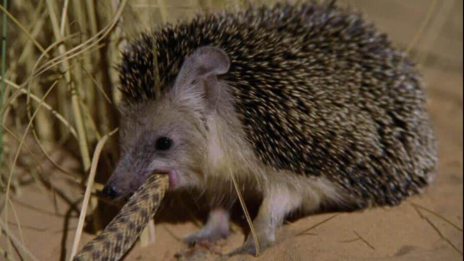 A hedgehog eating a snake.