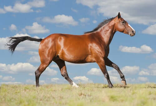 An American quarter horse.