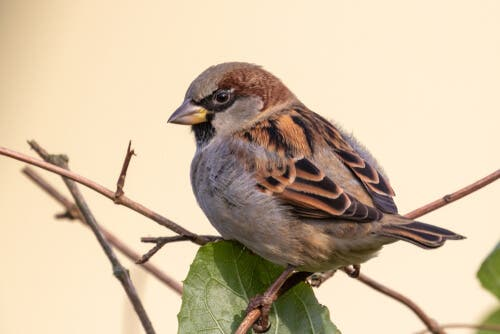 The House Sparrow: Is It Endangered?