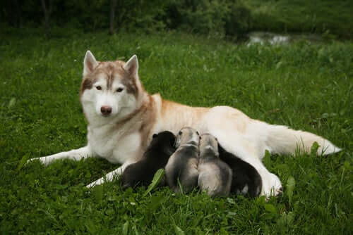 A husky mother breastfeeding her puppies.