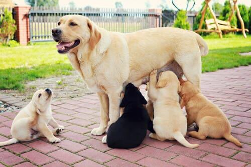 A mother breastfeeding her puppies.