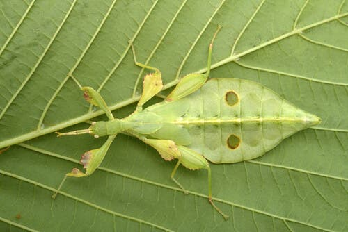 A leaf-like insect camouflaging.