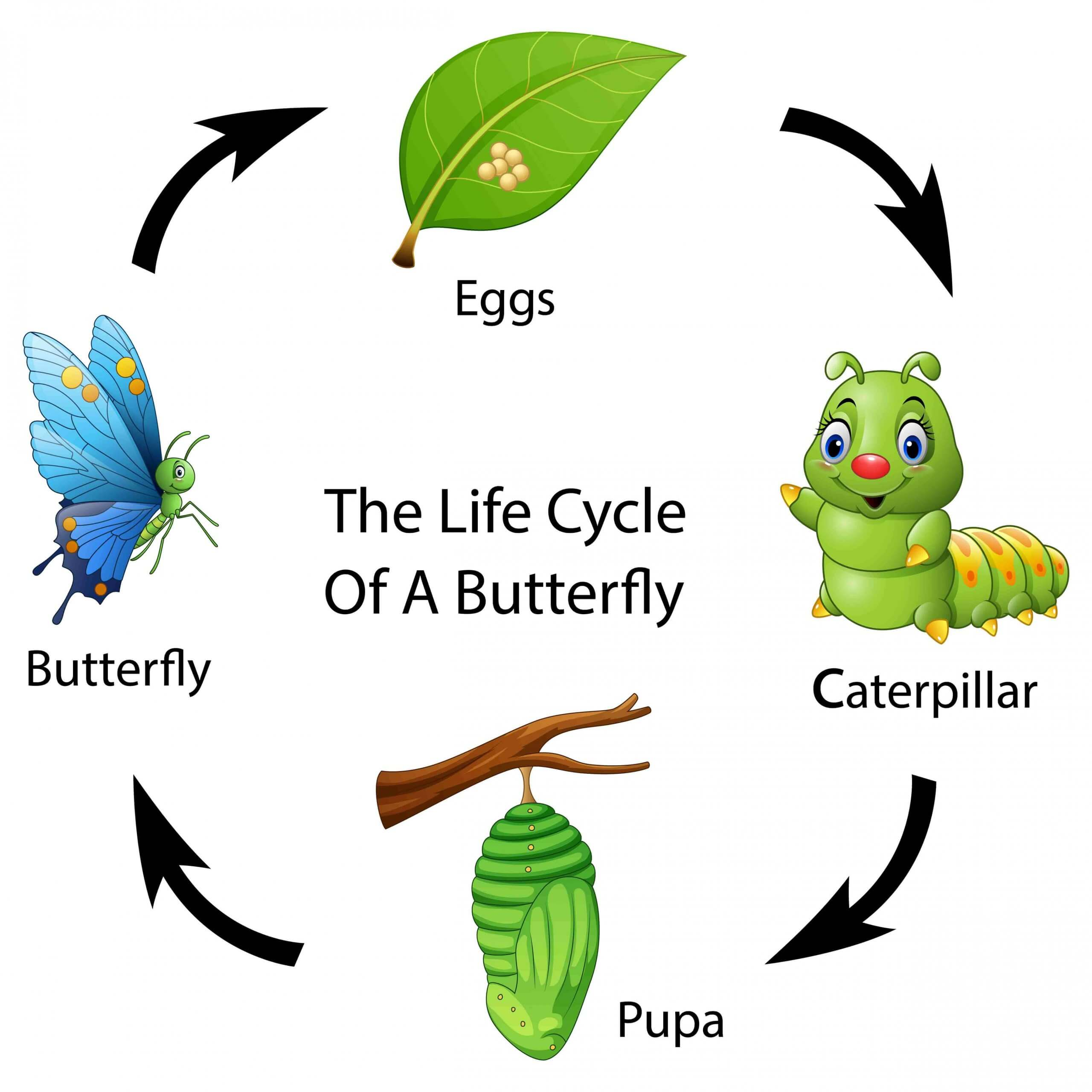 A picture of the butterfly's life cycle.