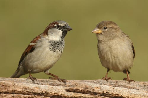 Male and female house sparrows.