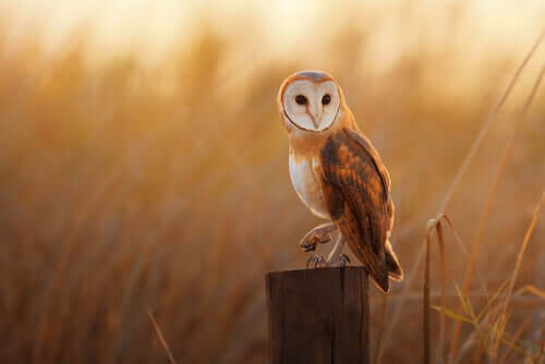 The Common Barn Owl: 2018 Bird of the Year in Spain