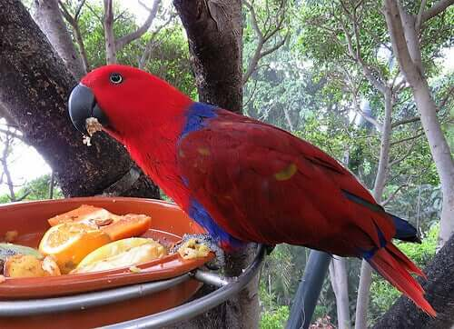 A red parrot eating.