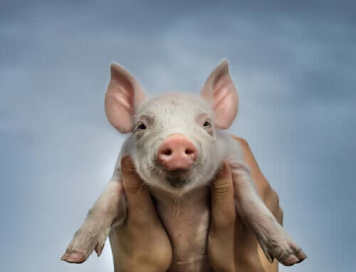 A baby pig.