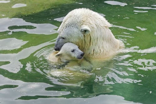 A polar bear carrying its young in the water.