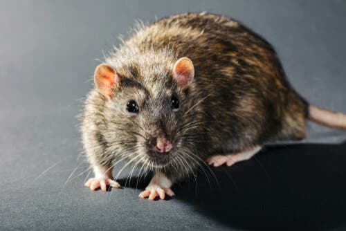 Viruses change animals' behavior, like the affects of the influenza virus in rats.