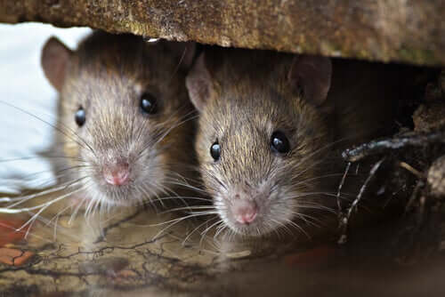 Rats hiding in a house.
