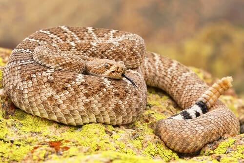 Do Rattlesnakes Use Their Scales to Store Water?
