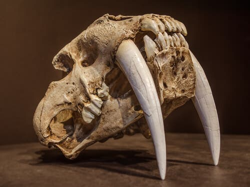 The Saber-Toothed Cat: The Most Fearsome Feline