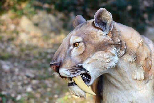 A representation of the saber-toothed tiger.