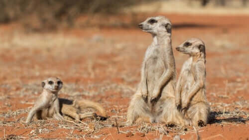 Suricates in the desert.