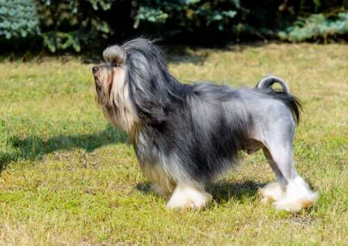 The appearance of the Löwchen dog breed.