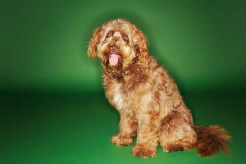 The physical appearance of the Otterhound.