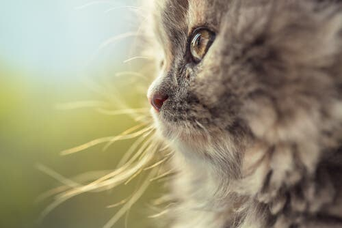 A German Longhair cat looking.