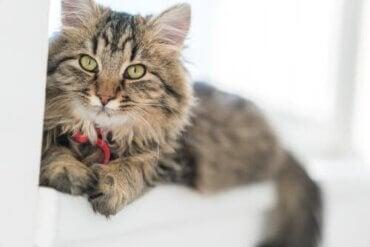 The German Longhair Cat