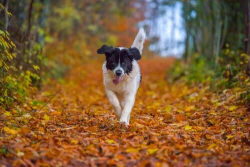 A Landseer running through the leaves.