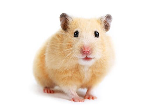A Golden Hamster, one of the largest species of hamster.