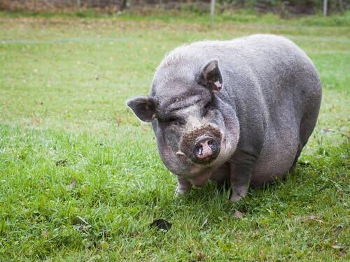 A Vietnamese pig.