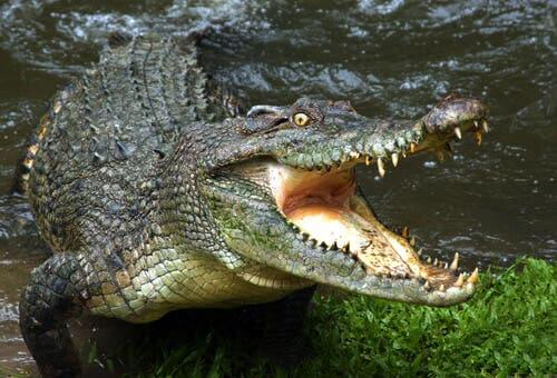 The Danger of Crocodile-Infested Waters