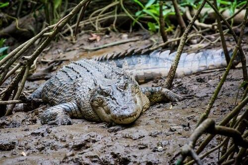 A crocodile lying in the mud.